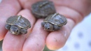 Baby Turtles Hatching