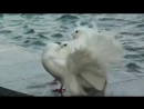 Танго голубей в Питере. Белый Стиль. Красные болонки визжат