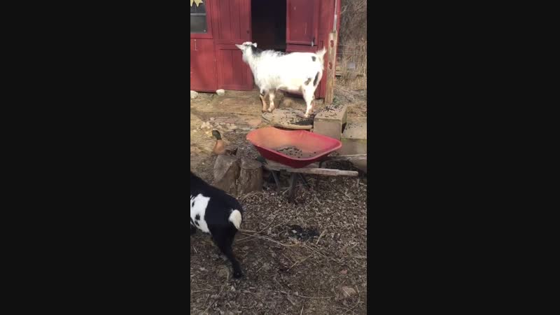 Our boy goat picks on our girl goat, so our duck has started keeping the boy goat on the spool and escorting the girl around.