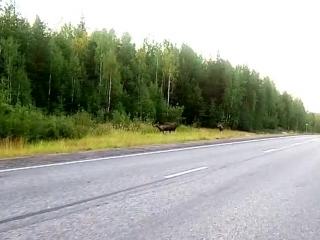 Лоси на трассе Мурманской области