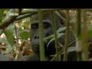 Дикая природа. Мир животных Африки. Гориллы. Документальный фильм