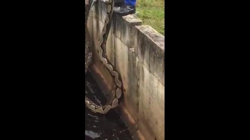 Subowo - cara mudah menangkap ular