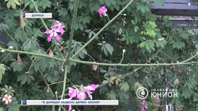 В Донецке зацвело Дерево жизни.