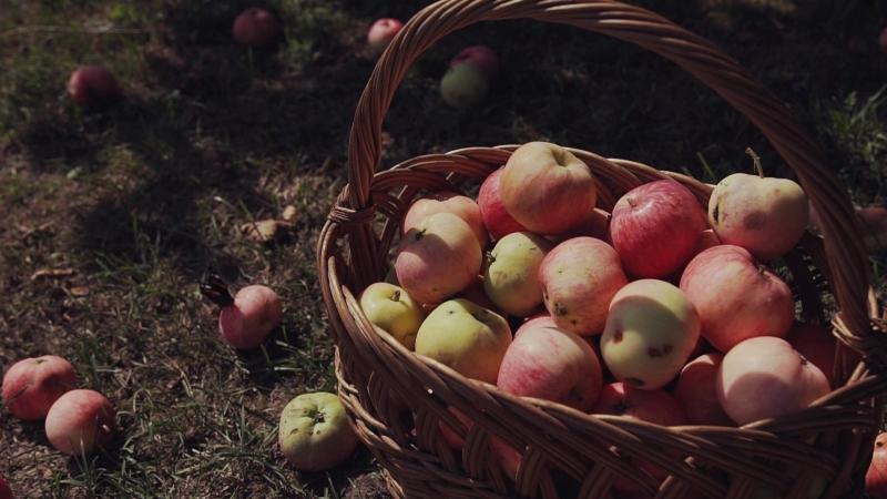 Начало свадьбы Антона и Айгули, или утро в яблоневом саду.