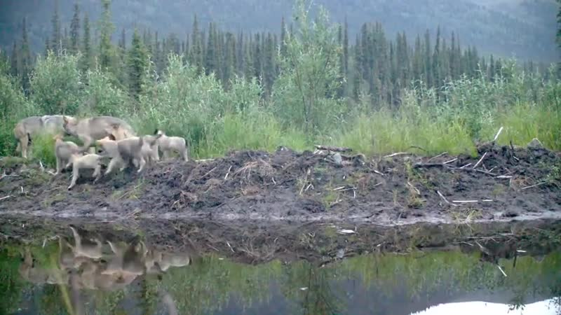 Wildlife camera in a national preserve in the Yukon captured a large family of wolves and their pups