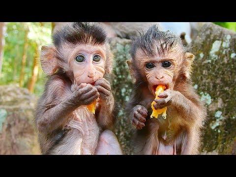 The Cutest Baby Monkey Eating, Amazing Smart Newborn Baby Monkey Brutus JR