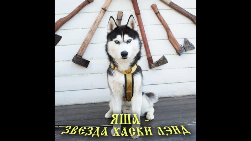 Хорошо быть кисою, хорошо собакою... А ещё лучше - быть хаски по имени Яша❗🐕🤗🤔 Вы думали, что звёздами становятся❓ Как бы не та