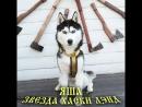 Хорошо быть кисою, хорошо собакою А ещё лучше - быть хаски по имени Яша❗🐕🤗🤔 Вы думали, что звёздами становятся❓ Как бы не та