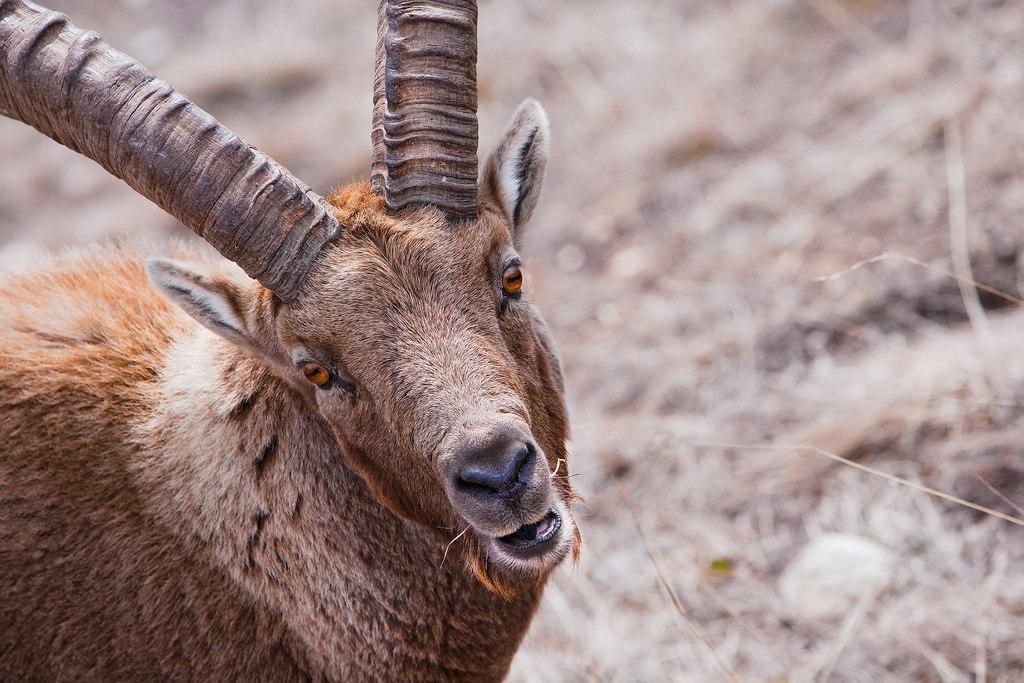 В Сызрани завёлся горный козёл