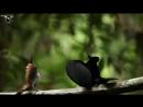 Брачный танец - Великолепная щитоносная райская птица Ptiloris magnificus