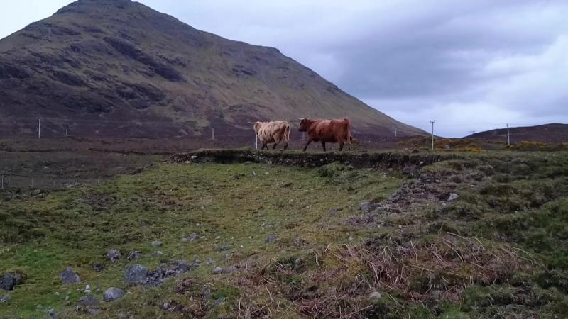Лохматые коровы!