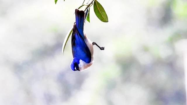 Vanga Blue