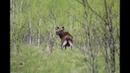 Охота на лося с лайками в ноябре