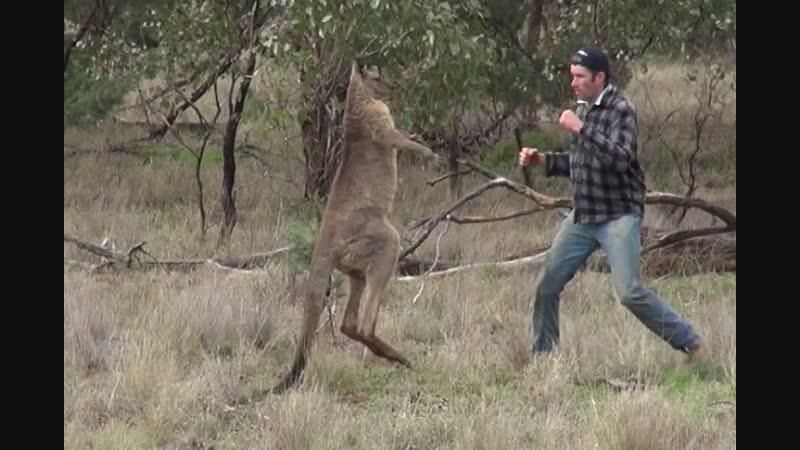 Человек ударяет кенгуру в лицо