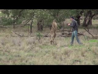 Мужчина спас собаку от кенгуру, вступив в кулачный бой!
