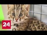 Жители Приморья спасли котенка амурского лесного кота, приняв его за обычную кошку - Россия 24