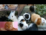 Daily Pet Routine Guinea Pigs, Hamster, Rabbits &amp Gerbils!