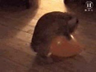 Rabbit humping a balloon