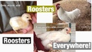 Roosters, Roosters, Everywhere!