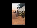 Воровайка против верблюда