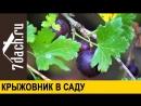 КРЫЖОВНИК- нюансы выращивания, размножение и заготовка - 7 дач(1)