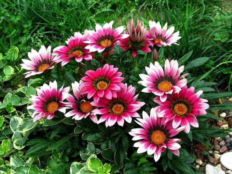 У гацании цветы диаметром 7-10см на коротких цветоносах. В продаже встречаются огромное количество сортов с цветками различной окраски. Также от сорта зависит и высота от 15 до 30см и есть сорта, не превышающие 10-15см.    Но одно остаётся неизменным – незабываемые, восхитительно яркие цветы!!