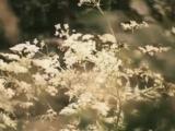Поет Людмила Сенчина. Полевые цветы