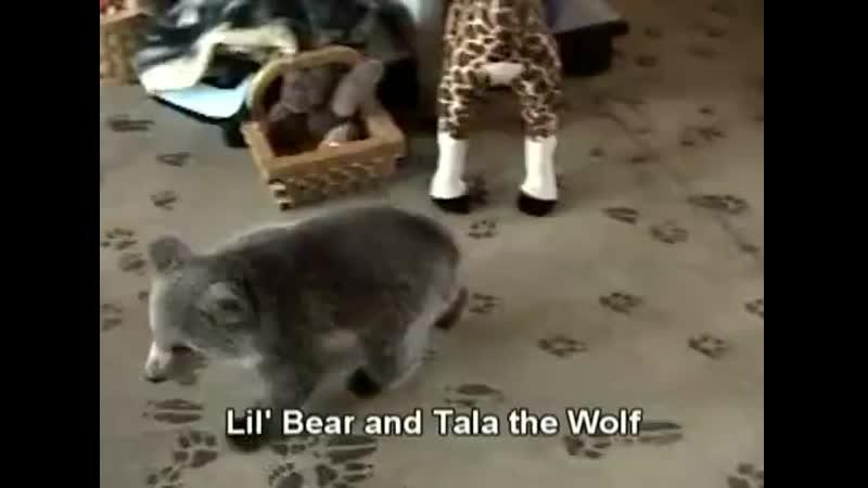 Смертельная битва волка с медведем ( 360 X 490 ).mp4