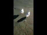 Дрессированные чайки
