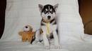 Предлагаем чёрно белого мальчика щенка сибирской хаски, родился 27 января 2019 года