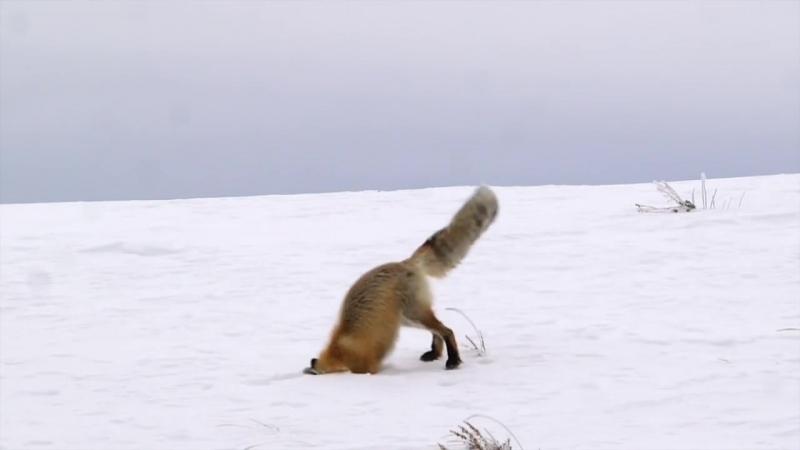 Yellowstone_red_fox