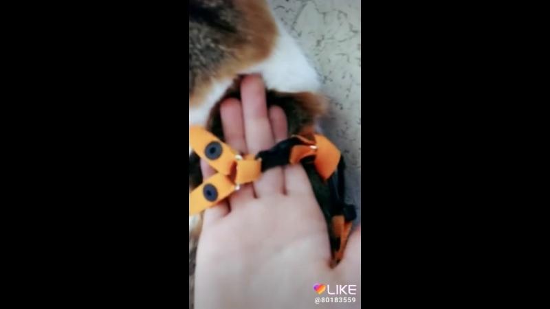 как надеть кошки ошейник