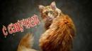 Приколы с котами - СМЕШНАЯ ОЗВУЧКА ЖИВОТНЫХ – Не может быть! Я РЖАЛ ПОЛЧАСА – DOMI SHOW