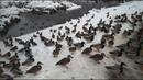 Куда улетают утки зимой Голосеевский парк Киева