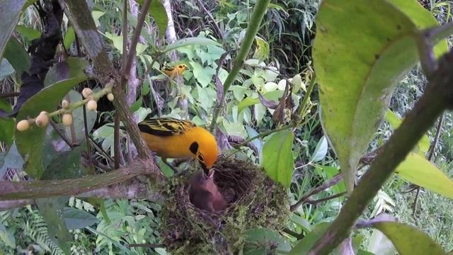 Golden Tanagers (Tangara arthus) tending their nestling · coub, коуб