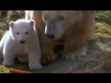 Первый белый медвежонок, родившийся в Британии за последние 25 лет, сегодня рискнул выйти с мамой на прогулку