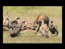 Munir Virani Why I love vultures