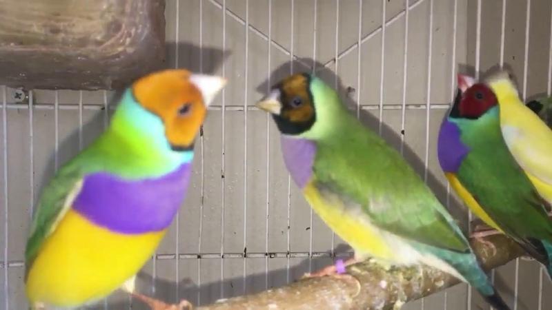 Kuşlarla Başbaşayız muhabbe kuşu gouldian finch