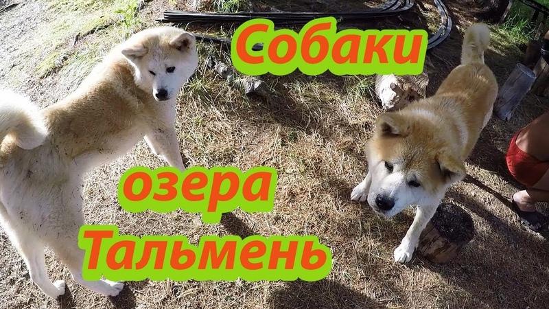 Ольга Кормит Хариусом Японских Собак на Озере Тальмень в Горном Алтае