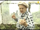 Подкормка и полив томатов в теплице
