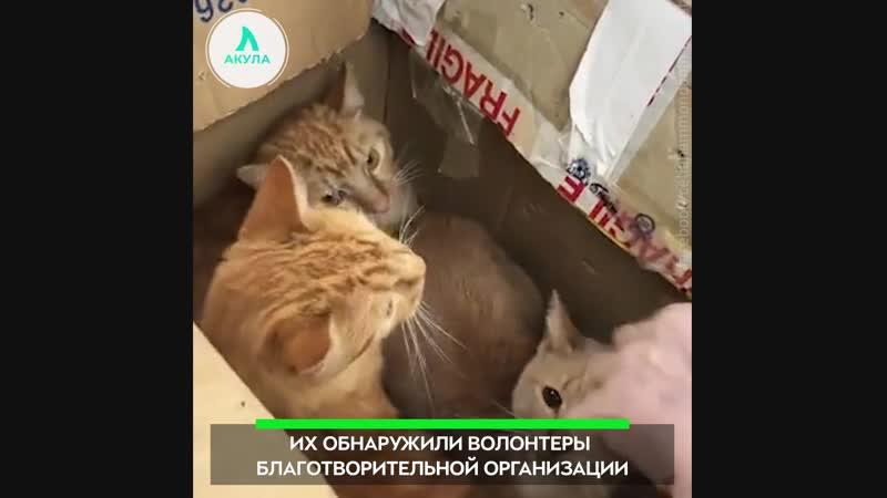 Коробка котов АКУЛА