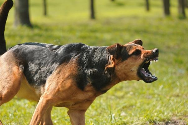 Обычно, сновидение, в котором происходит нападение собак, является предупреждением о том, что в ближайшем окружении человека, есть недоброжелатели или даже враги.