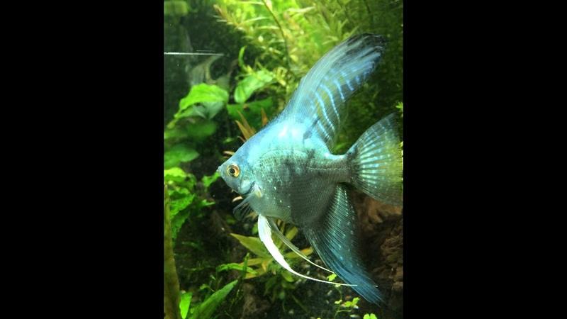 Philippine Blue Angelfish Looking Amazing