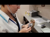 [Yoll] Очередная потерпевшая сова сплюшка на осмотре у ветеринара. Маленький комочек зла