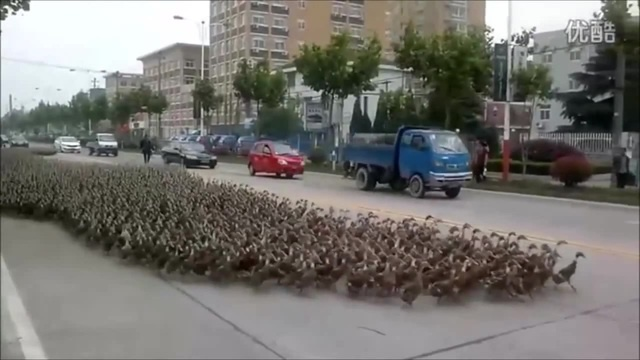 The ducks are taking over