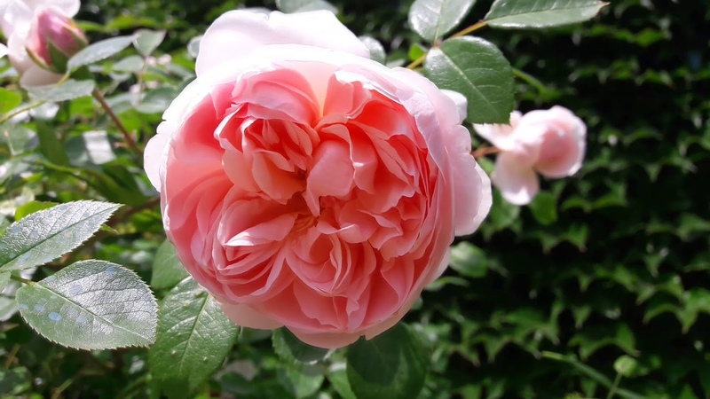 Мой сад в июне 2018. Часть 1. My rose garden tour 2018. Part 1.