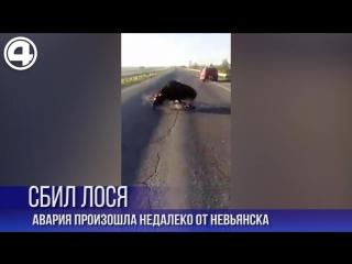 На трассе Екатеринбург-Серов сбили лося