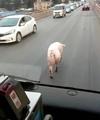 Pig Jaywalking