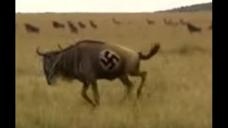 Wildebeest nazi [Eng]