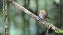 Rufous browed flycatcher Мухоловка отшельник Ficedula solitaris Anthipes solitaris
